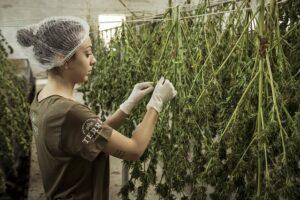 Componentes del cannabis